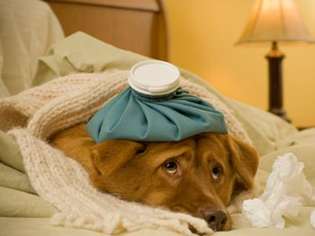 Sick pet-sick-in-foreign-country-1