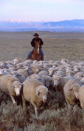 Herding ARS_sheep_herding