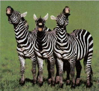 Laughing_zebra