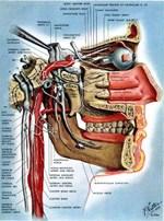 Head_autonomic_nerves_in_head